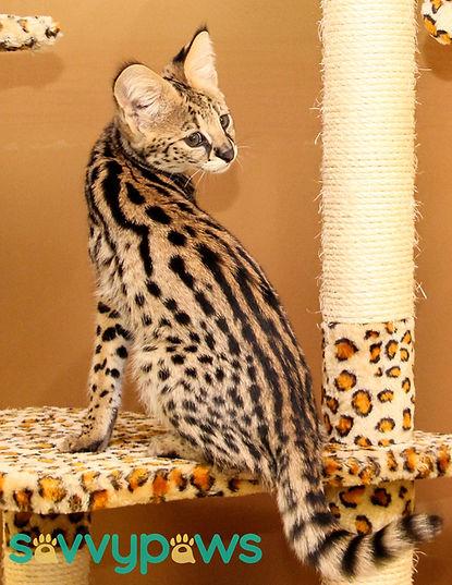 Serval Kitten in Ontario
