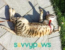 Savannah Cat Alberta