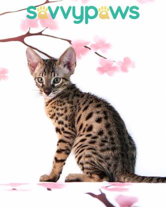 SBT Savannah Kitten - CH SavvyPaws Chuma of Danuwa