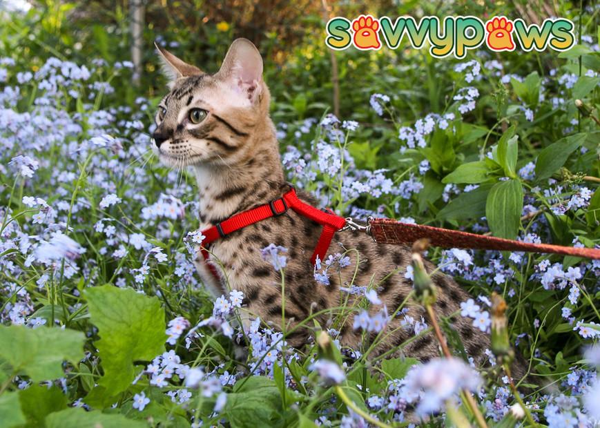 SBT Savannah Kitten - SavvyPaws Axel of Iwanna