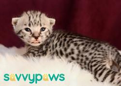 F3 Silver Savannah Kitten