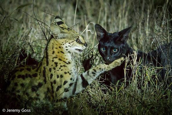 African Servals
