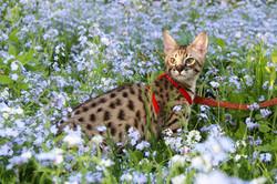F6 SBT Savannah Kitten