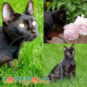 Melanistic Black Savannah Cat