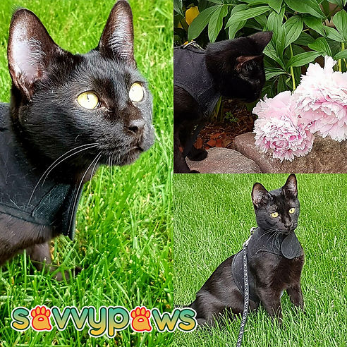 Melanistic Black Savannah Cat