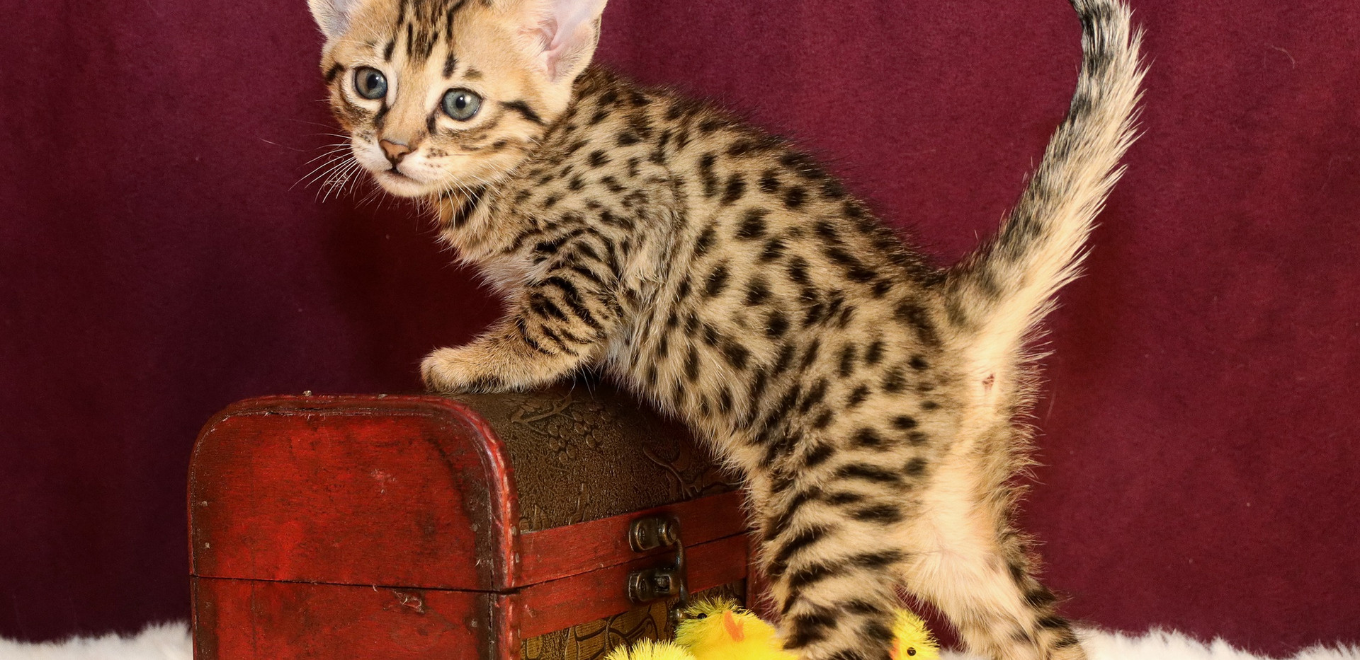 F7 SBT Savannah Kitten