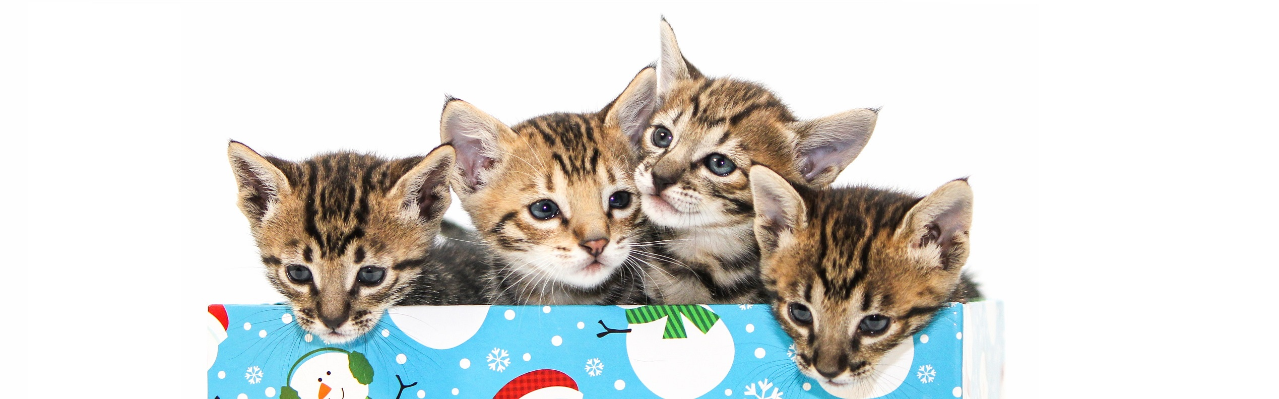 F6 SBT Savannah Kittens