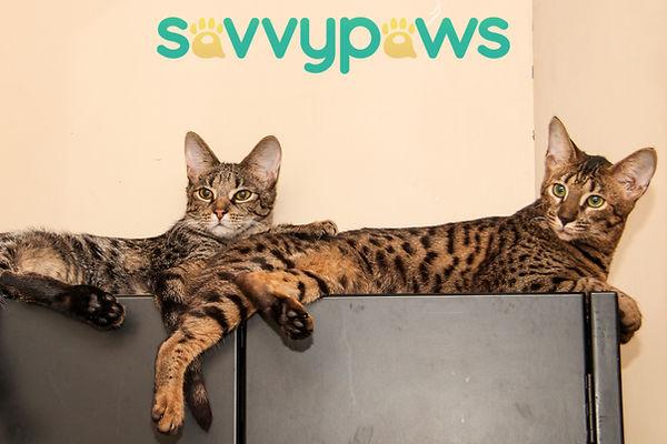 F2 and F6 Savannah Kitten in Toronto, Ontario