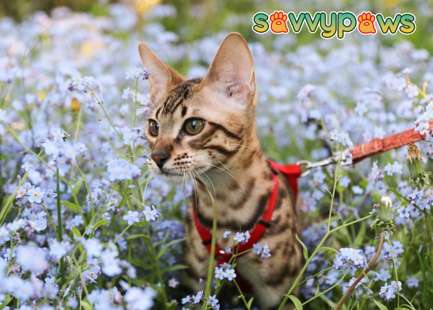 SBT Savannah Kitten - CH SavvyPaws Athos of Botiquexoticat