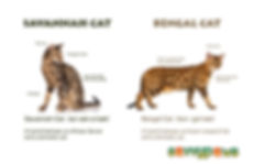 Savannah Cats VS Bengals
