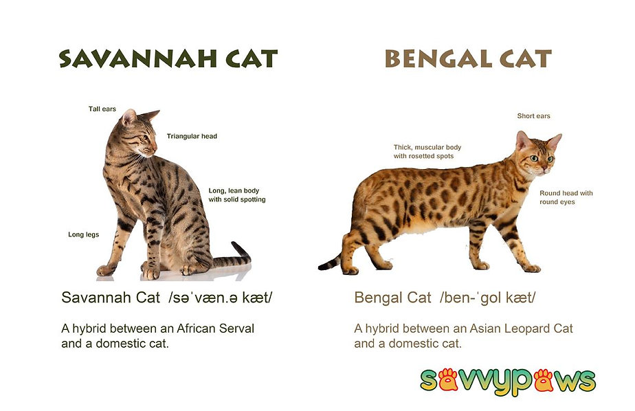 Savannah Cats VS Bengals