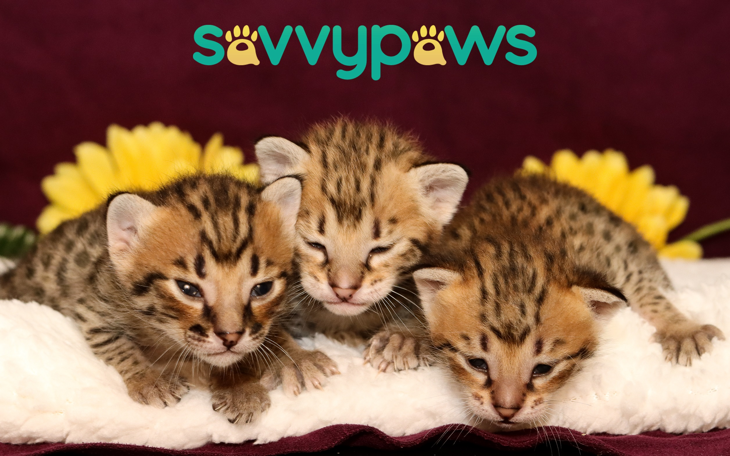 F3 Savannah Kittens