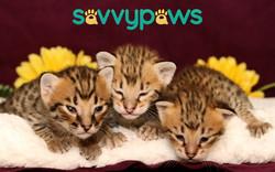 F3 Savannah Kittens
