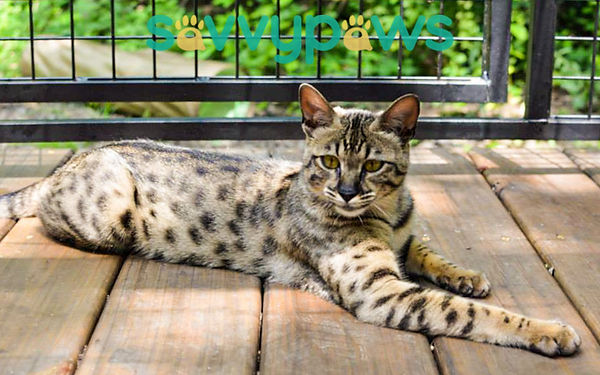 Savannah Cat Canada