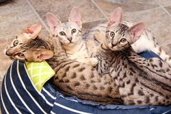 F7 SBT Savannah Kittens