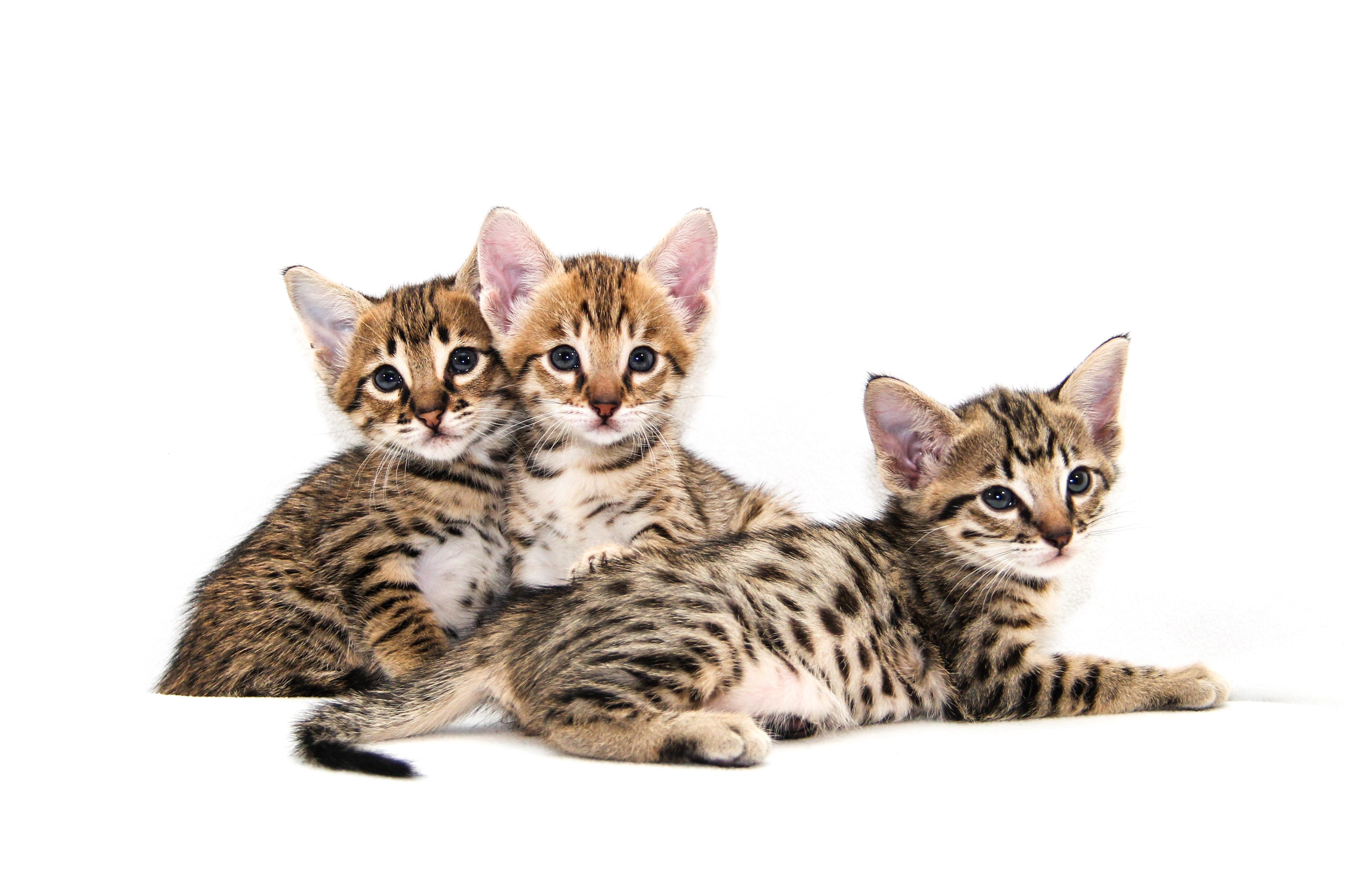 Savvy Paws Savannah Cats | Savannah Kittens in Ontario, Canada
