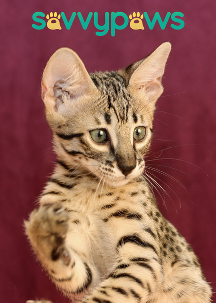 SBT Savannah Kitten - SavvyPaws Tarzan of PrideRockCatz