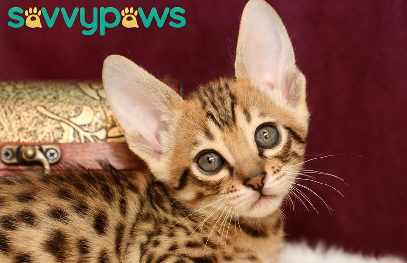 F7 SBT Savannah Kitten