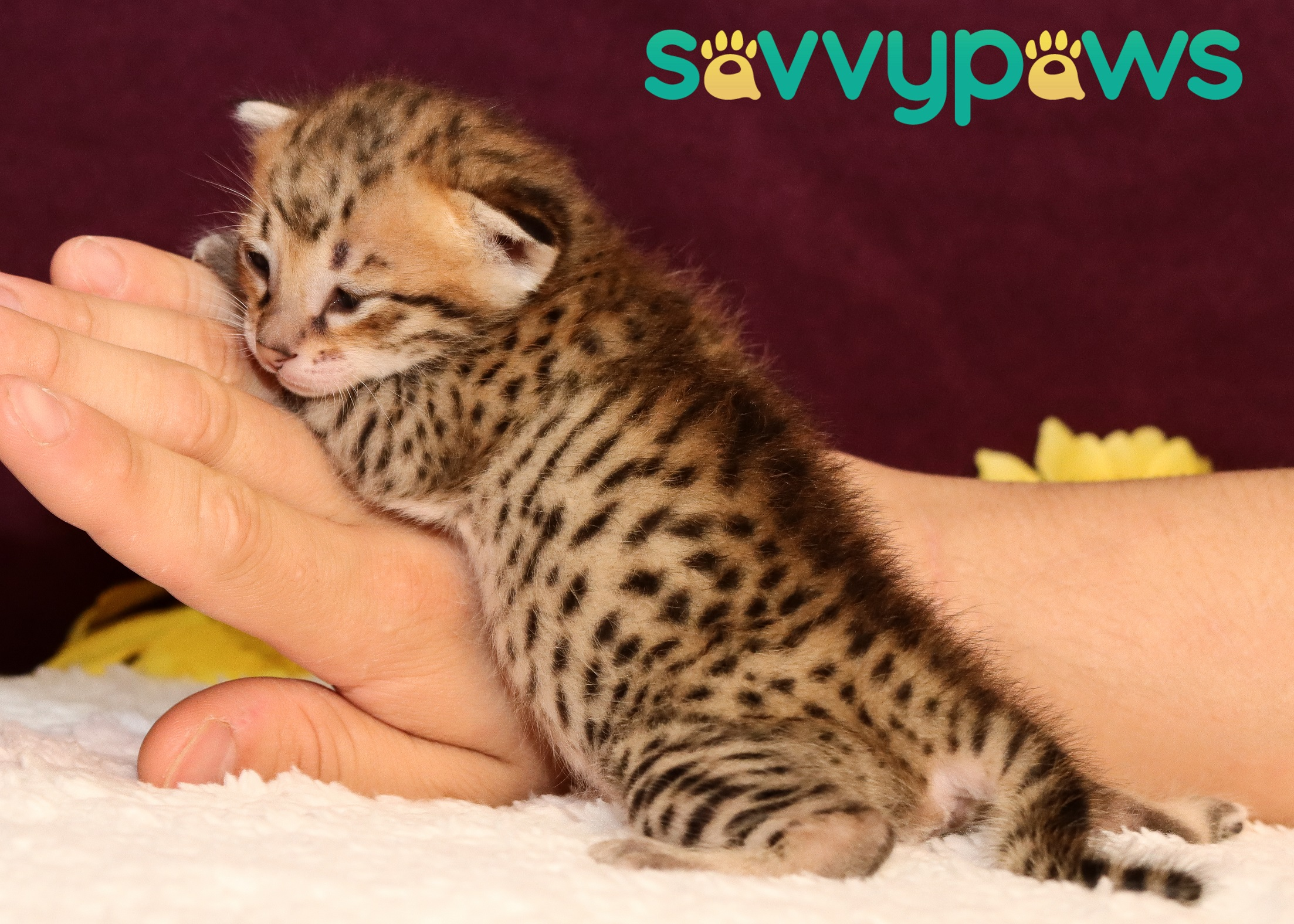 F3 Savannah Kitten
