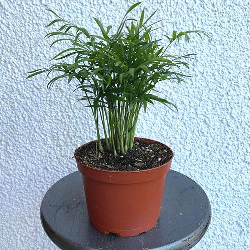 "6"" Neanthebella palm"