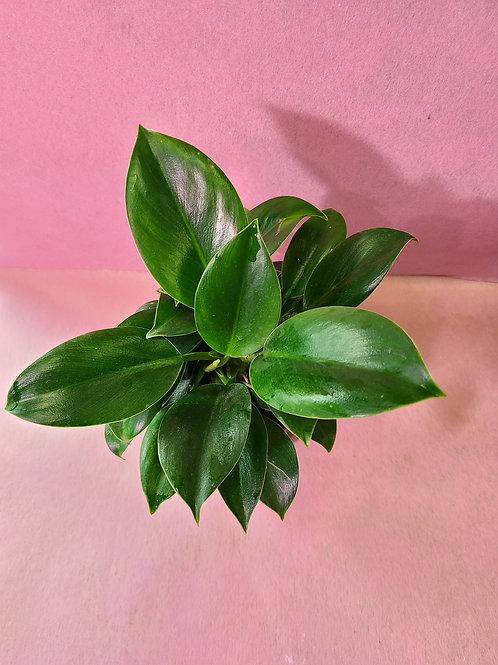 """5"""" Philodendron green princess"""