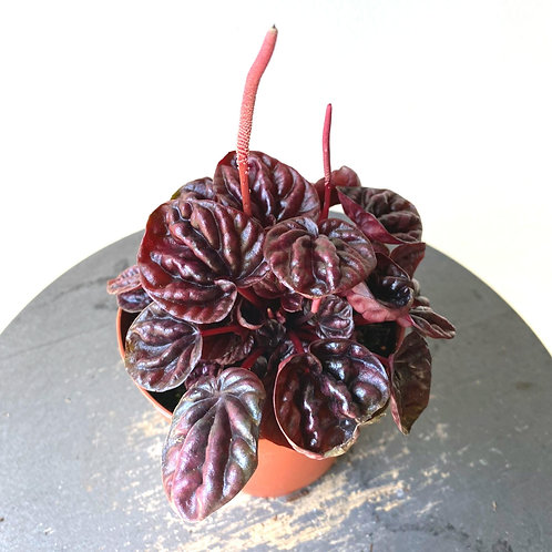 "Peperomia Carperata ""ruby red"""
