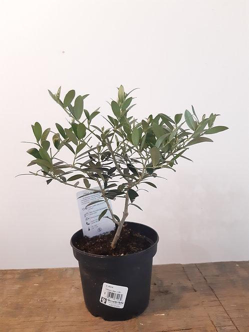 """6"""" Olive tree"""