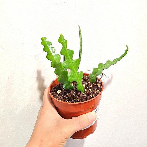 """4"""" Ric rac cactus"""