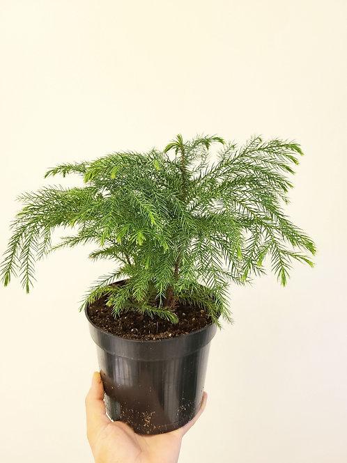 """6"""" Norfolk pine"""