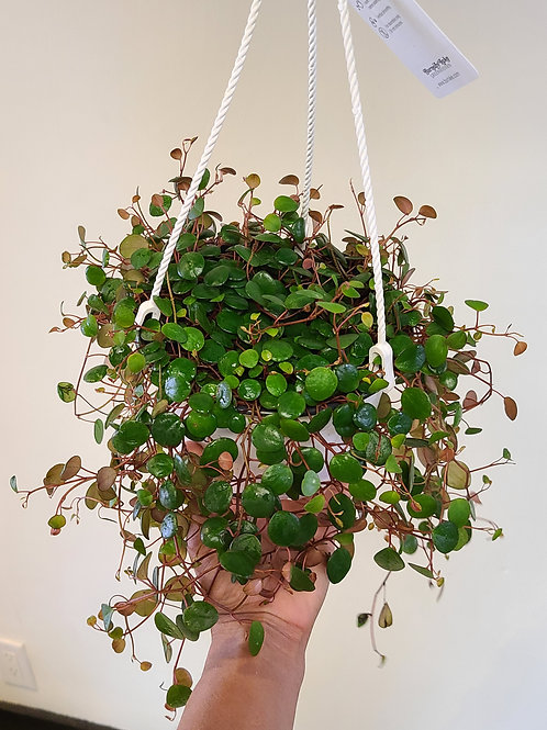 6in Peperomia peperspot