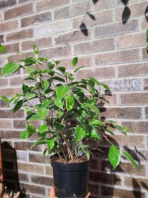 """6"""" Ficus Benjamina variegated"""