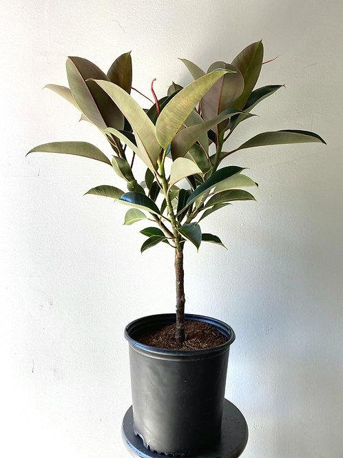 Ficus Elastica Melanie