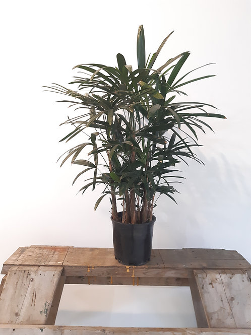Rhapis palm tree