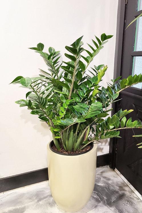 Extra large Zz Plant