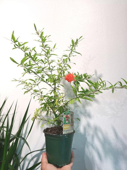 """4"""" dwarf pomegranate"""
