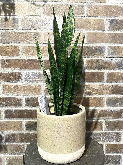 6in Black coral Snake plant + Ceramic Planter