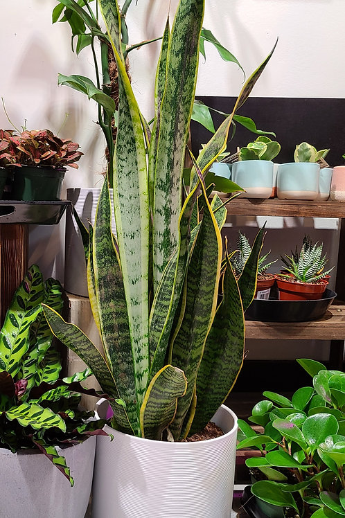 2.5 ft tall Snake plant