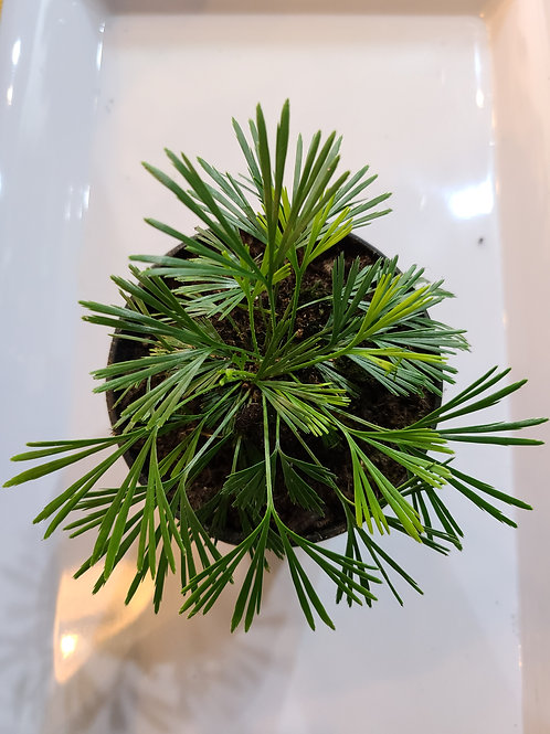 "4"" Ray fern (actiniopteris australis)"
