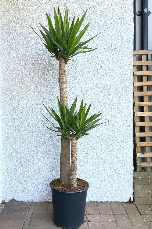 4-4.5 ft  tall Yucca tree (2 stems per pot)