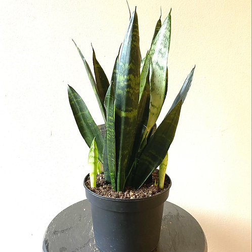 """6"""" Black coral Snake plant"""