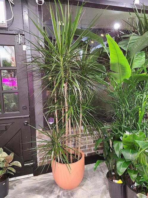 7 ft tall. Extra Large Dracaena marginata