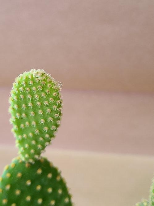 """4"""" Bunny ear cactus 🌵(Opuntia microdasys)"""