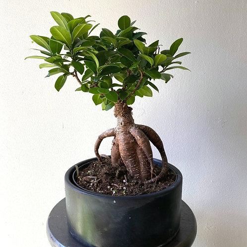 """8"""" Bonsai + Planter"""