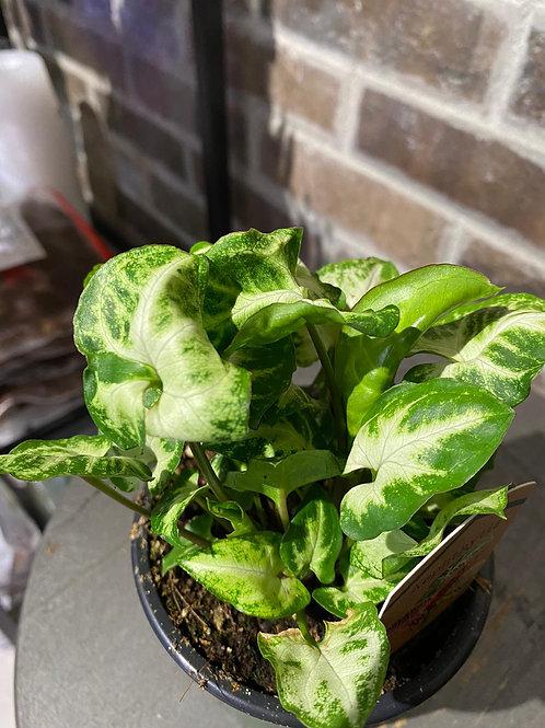 "4"" Nephtytis glo glo (arrow head plant)"