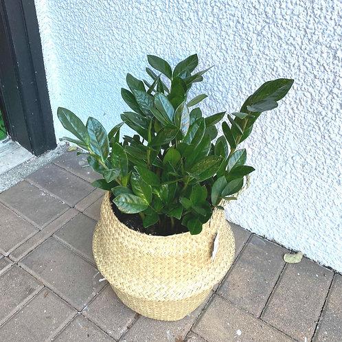 """10"""" Zz plant"""