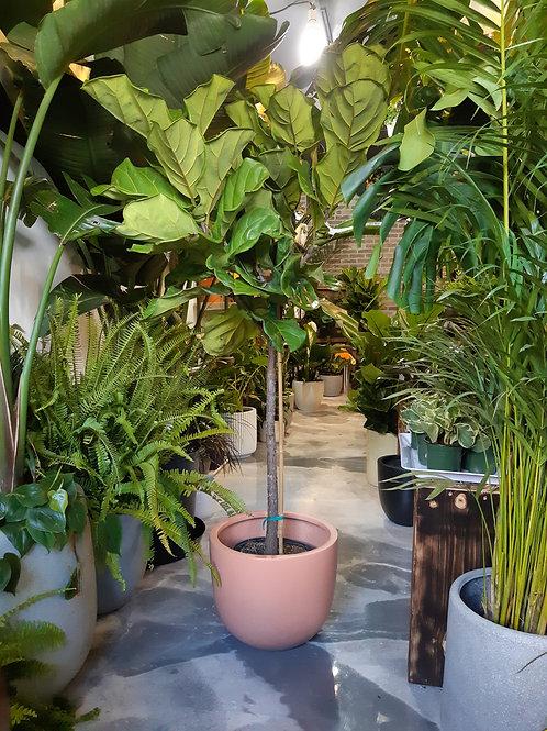 5 ft tall Ficus Lyrata Standard