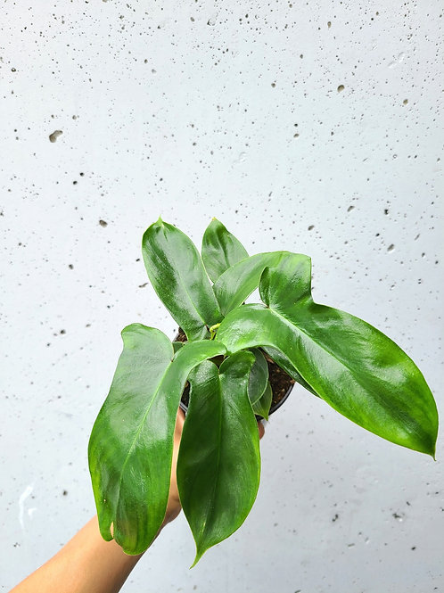 """4"""" Philodendron Florida Beauty"""