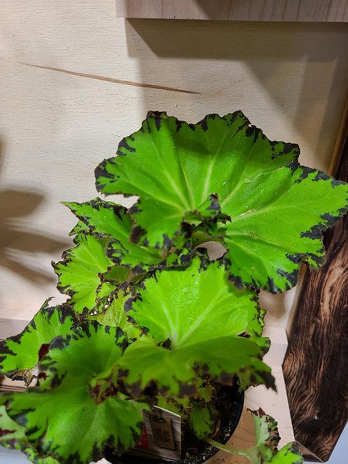Begonia rex green