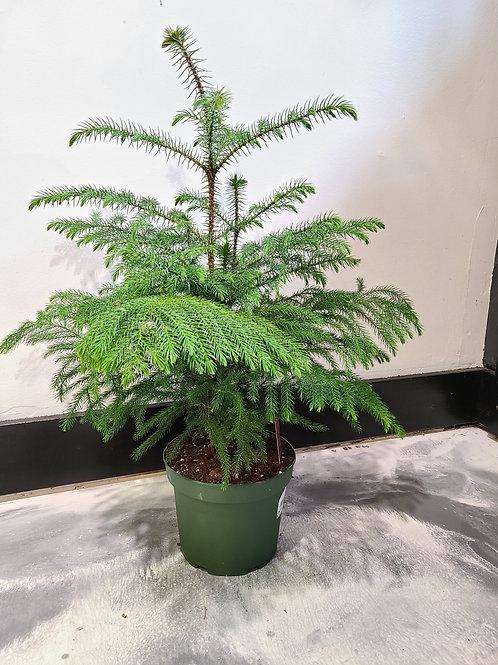 2 ft tall Norfolk pine