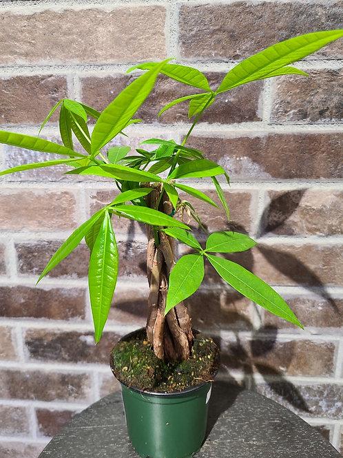 """4"""" braided Money tree (pachira aquatica)"""